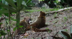 #702 : Watching the White-nosed Coatis of Guatemala