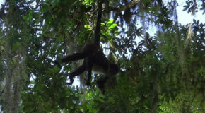 #705 : Watching the spider monkeys of Guatemala