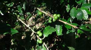 #708 : Suivre la culture du meilleur café du monde au Guatemala