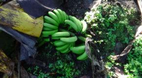#709 : Suivre l'élaboration des bananes déshydratées dans une Finca