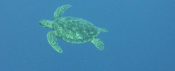 #691 : Plonger avec les tortues imbriquées de Tahiti