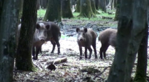 #75 : Rubbing with wild boar in the forest