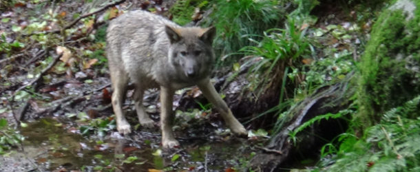 #683 : Observer le loup gris commun en Creuse